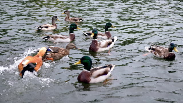 Wild Ducks Swimming Around In a Pond video