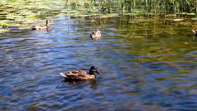 Wild ducks swimming in their natural habitat video