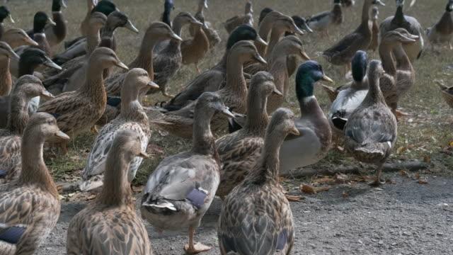 wild ducks. - ornitologia video stock e b–roll