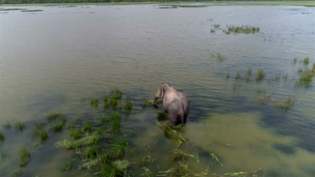 Wild elephant feeding in a lake video
