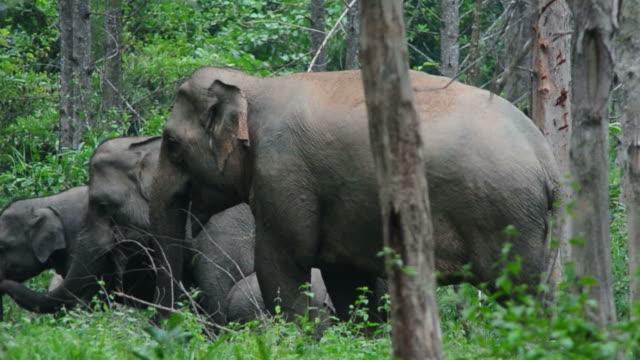 Wild Elephants video