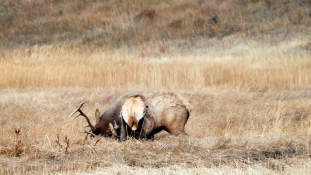 Video Wild elk fighting, Banff National Park