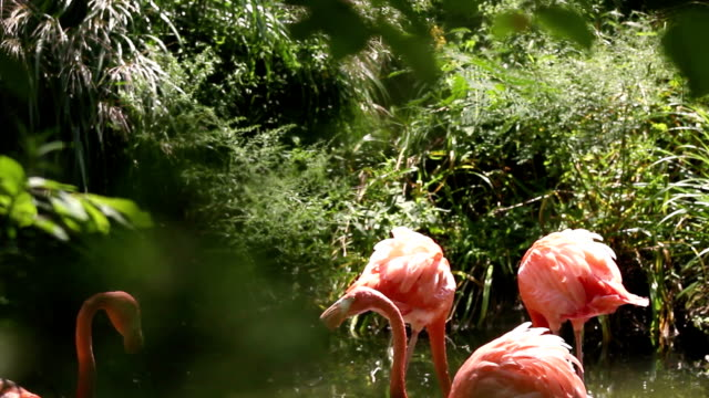 wild flock of flamingos grazing in swampland wilderness in afternoon - joseph kelly stock videos and b-roll footage