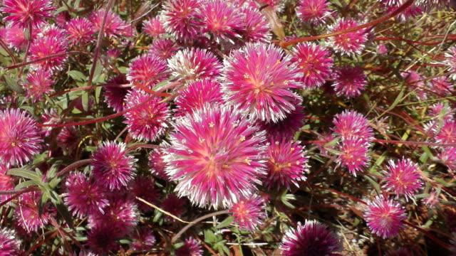 wild flowers - western australia stock videos & royalty-free footage