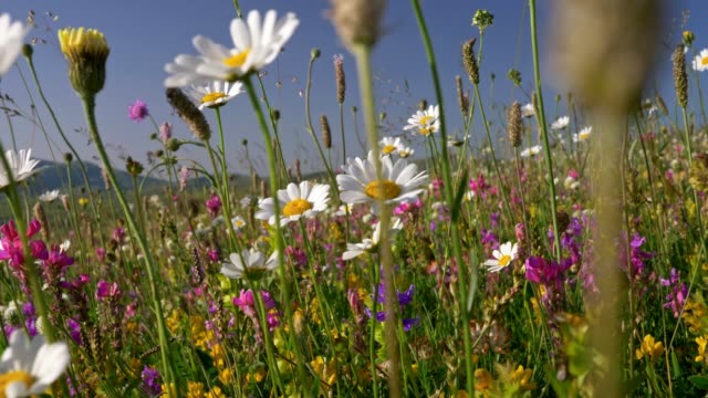 wild flowers waving in the wind in alpine meadow during a bright sunny day. steadicam shot, 4k - нивяник стоковые видео и кадры b-roll