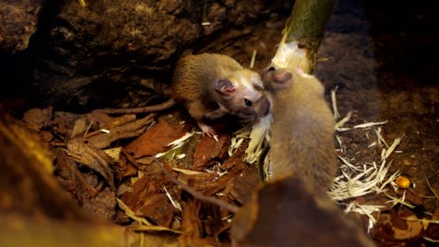vahşi orman, küçük fareler, kemirgenler, bir şube, doğa ağaçta kemirmek. yakın çekim - kemirgen stok videoları ve detay görüntü çekimi