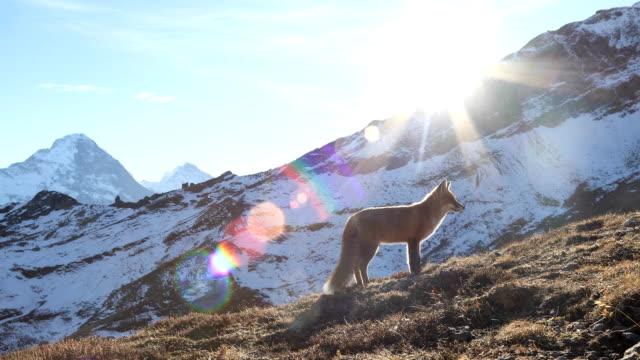 Wild fox se relaja en otoño entorno de montaña - vídeo
