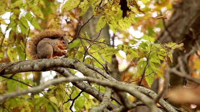 wild fox squirrel eating  acorn tree  fall day video