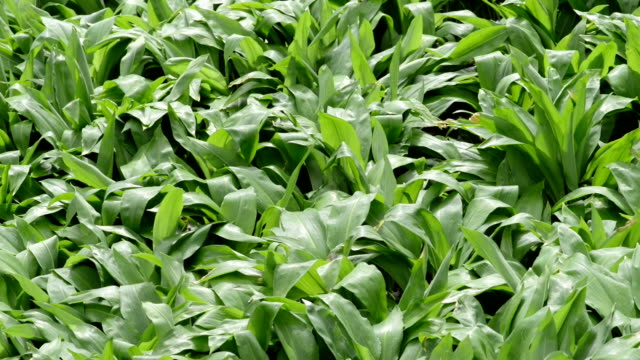 wild garlic (Allium ursinum) plants and windflower - video
