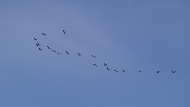 Wild Geese Flying video