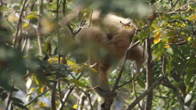 wild scimmia gibbone ape si sposta in una foresta albero. - gibbone video stock e b–roll