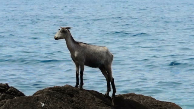 Wild Goat On A Distant Rock In The Sea video