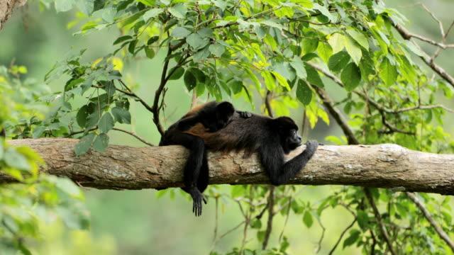 dzikie złote mantled wycie małpy, kostaryka - ekoturystyka filmów i materiałów b-roll