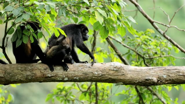 scimmie urlatrici dal mantello dorato selvatico, costa rica - mammifero video stock e b–roll