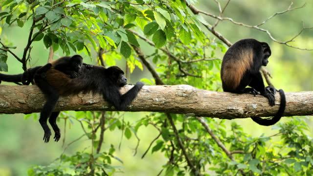 Wild Golden-mantled howler monkeys, Costa Rica