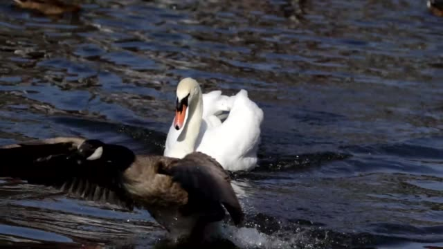 Wild goose chase mute swan routs Canada goose HD video video
