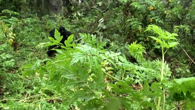 Animal gorila salvaje del bosque tropical de África Ruanda - vídeo