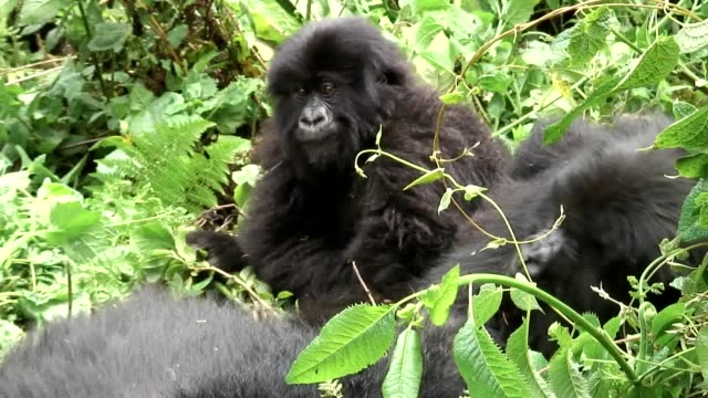 Wild Gorilla animal Rwanda Africa tropical Forest video