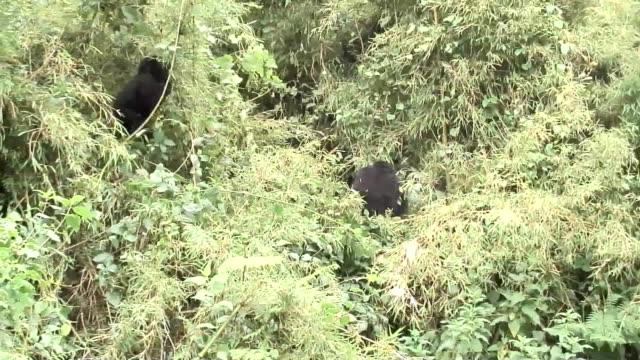 stockvideo's en b-roll-footage met wild gorilla dier tropisch woud van rwanda afrika - gorilla
