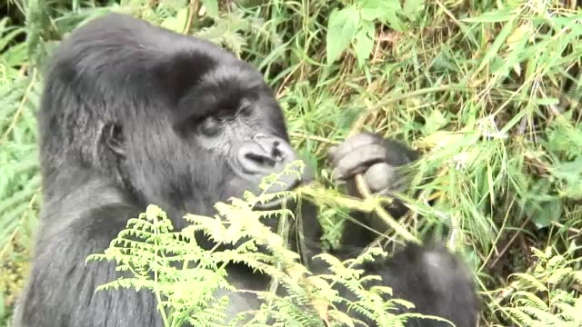 野生のゴリラ動物ルワンダ アフリカ熱帯林 - ゴリラ点の映像素材/bロール