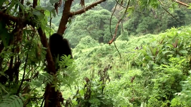 Wild Gorilla Rwanda tropical Forest video