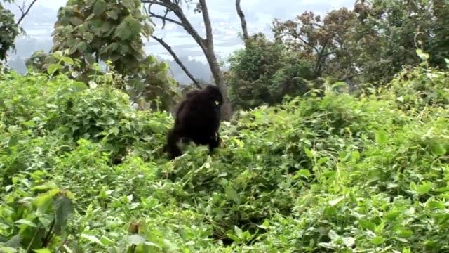 Floresta tropical de Ruanda de gorila selvagem - vídeo