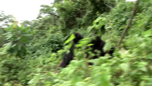 wild gorilla rwanda tropical forest - primate video stock e b–roll