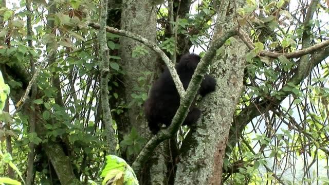 野生ゴリラ ルワンダ熱帯林 ビデオ