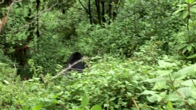 Bosque de Ruanda de gorila salvaje - vídeo