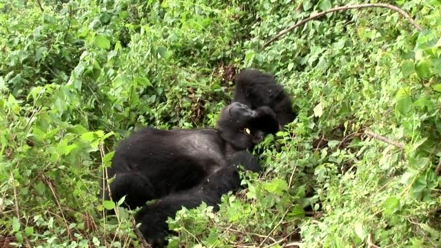 野生ゴリラ ルワンダ熱帯林 - ゴリラ点の映像素材/bロール