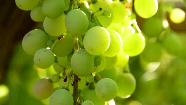 Wild grapes, close up video