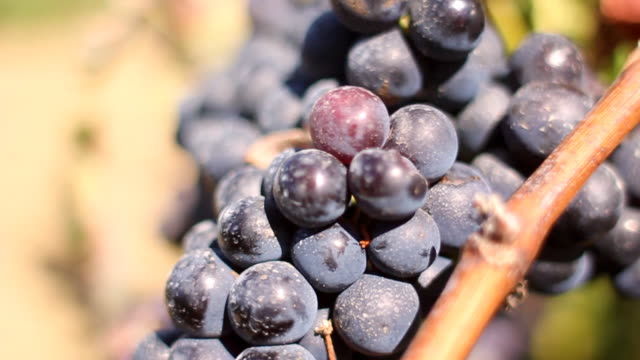 Wild grapes in Portugal vineyard video