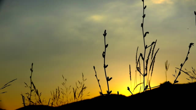 wild grass at sunset. Straws sway on wind against orange sun video