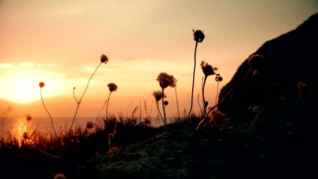 Wild Grass Flowers Moving On Wind In Front Of sea Sunset