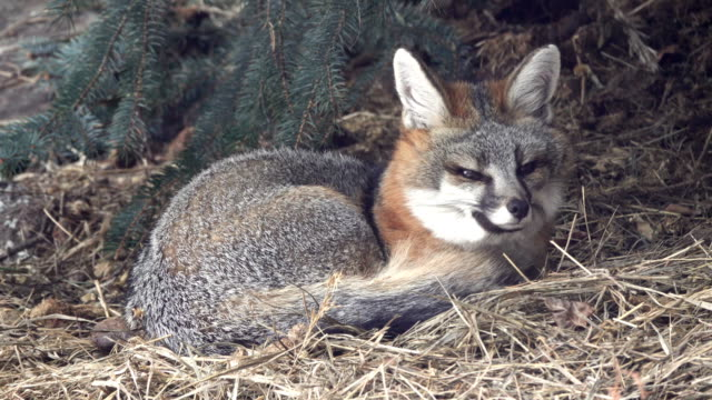 Wild gray fox shelters under blue spruce pine tree Colorado foothills video