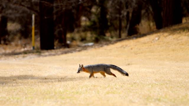 wild gray fox - fox stock videos and b-roll footage