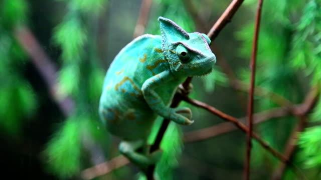 Wild green chameleon video