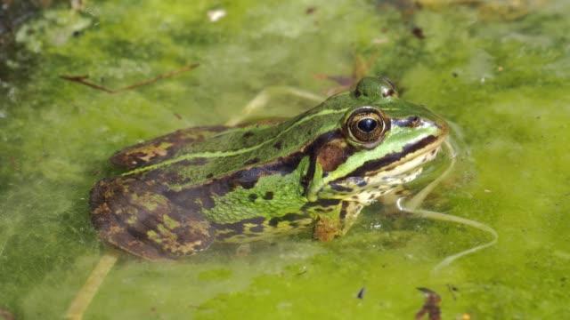 rana verde selvatica nello stagno da vicino - anfibio video stock e b–roll
