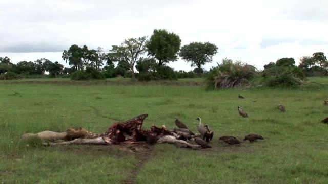 Wild Griffon Vulture and Lion eating Giraffe Africa savannah Kenya video