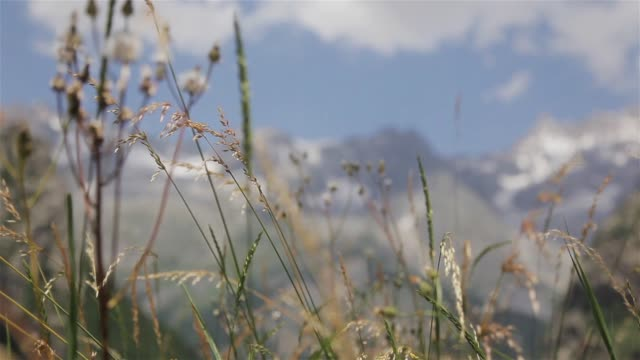 wild herbal medicine weeds of alpine meadow at summer mountain background close up moving rack focus. alpine plant grass swaying in valley field of mont blanc snow-covered rocky top of alps fresh air - courmayeur estate video stock e b–roll