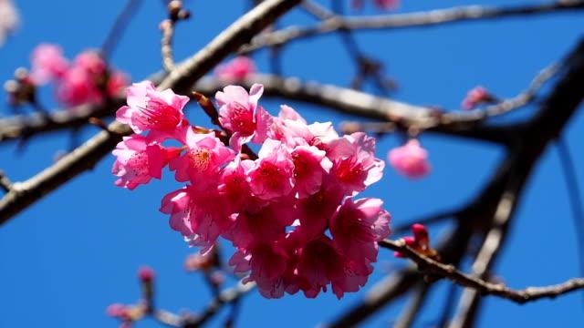 Wild Himalayan Cherry video