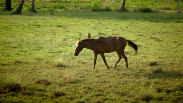 wild horse by himself in the wild. wild horse eating meadows - stallone video stock e b–roll