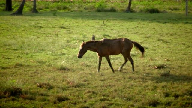 wildes pferd alleine in der wildnis. wildes pferd essen wiesen - hengst stock-videos und b-roll-filmmaterial