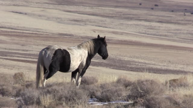 wild horse in utah - equino video stock e b–roll