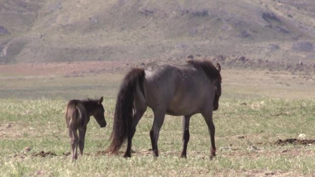 wild horse mare and foal in the utah desert - cavalla video stock e b–roll