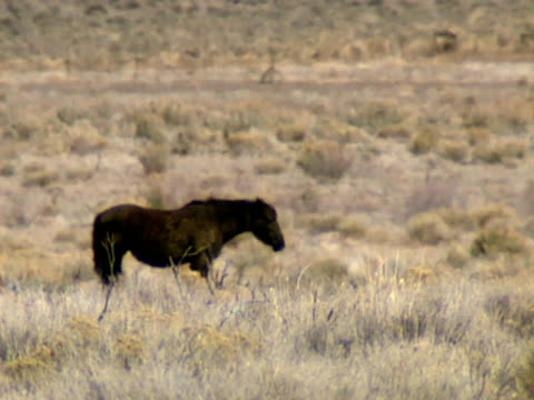 wilde pferde 03 - hengst stock-videos und b-roll-filmmaterial