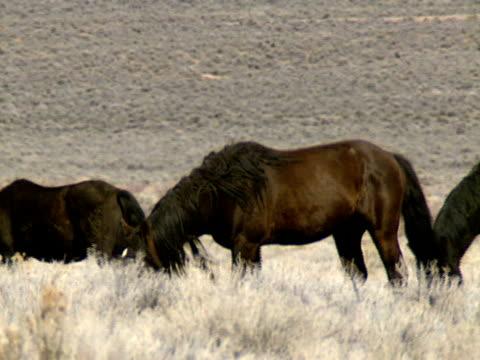wilde pferde 16 - hengst stock-videos und b-roll-filmmaterial