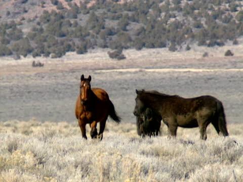 dzikie konie 24 - grzywa filmów i materiałów b-roll