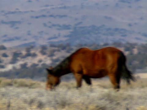 wilde pferde 27 - hengst stock-videos und b-roll-filmmaterial