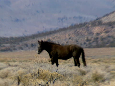 wilde pferde 28 - hengst stock-videos und b-roll-filmmaterial